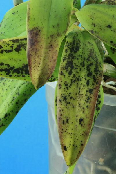 Cattleya forbesii :  soupçon de virose Cattle19