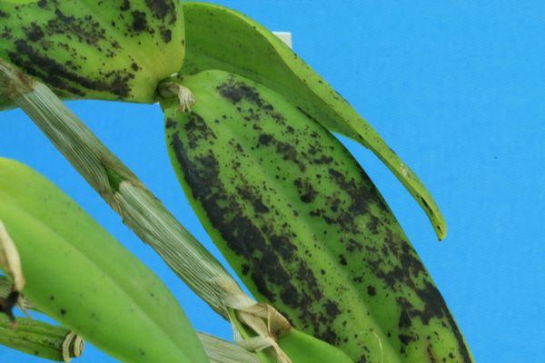 Cattleya forbesii :  soupçon de virose Cattle20