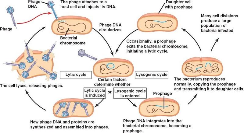 Genes <> Memes Lysoge11