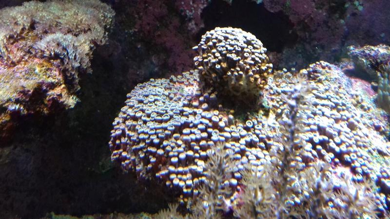 soucis coraux mous 20180312