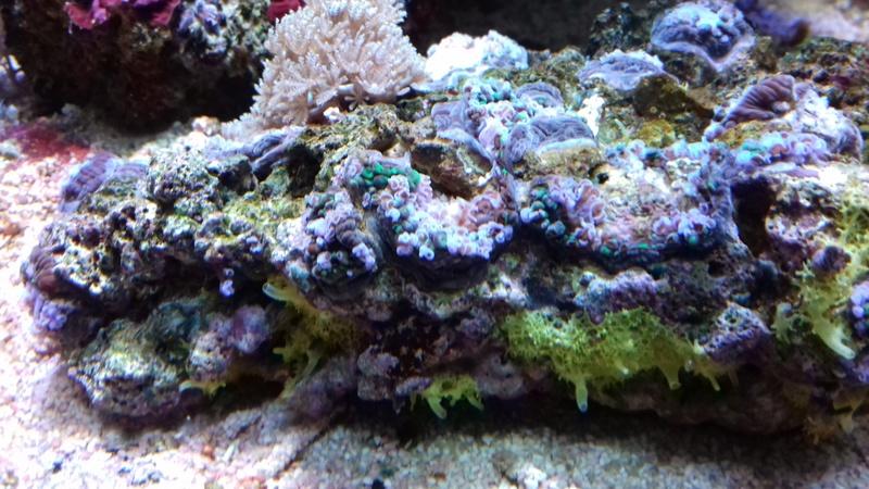 soucis coraux mous 20180313