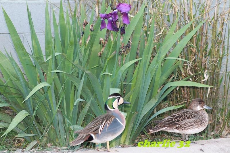 Elevage canard  12_2-b10
