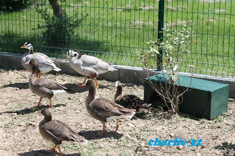 Elevage canard  18_1-o10
