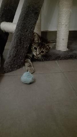 NIKITA petit tigrée adorable 22686410
