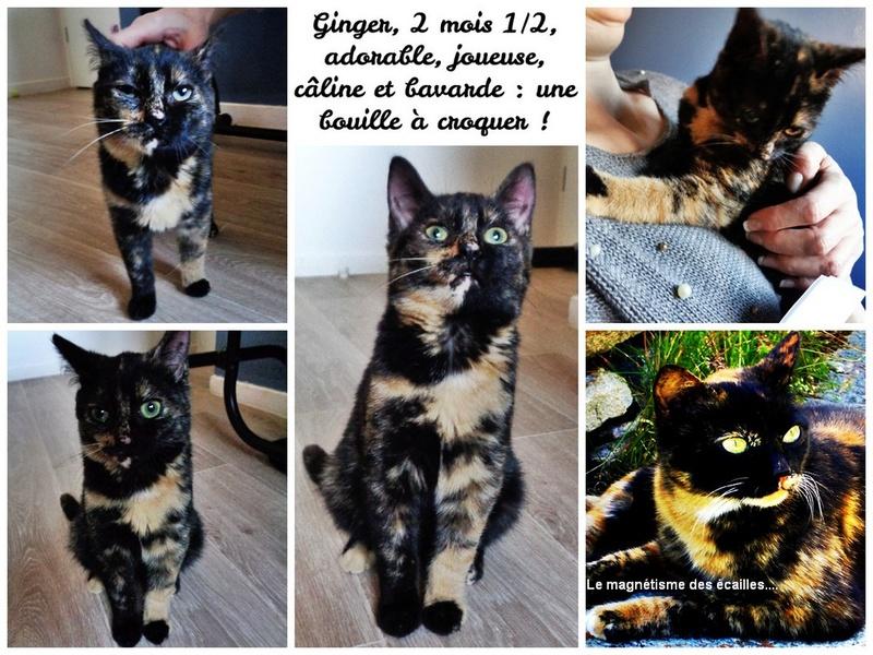 Ginger chatonne adorable et très affectueuse Pixiz-14