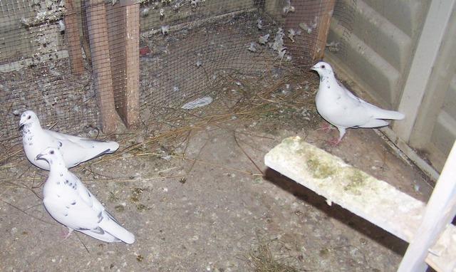 Stock birds. 2006-014