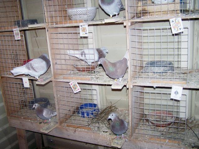 Stock birds. 2006-015