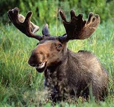So says the moose... Images10