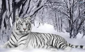 Le Tigre s'est couché... Tylych10