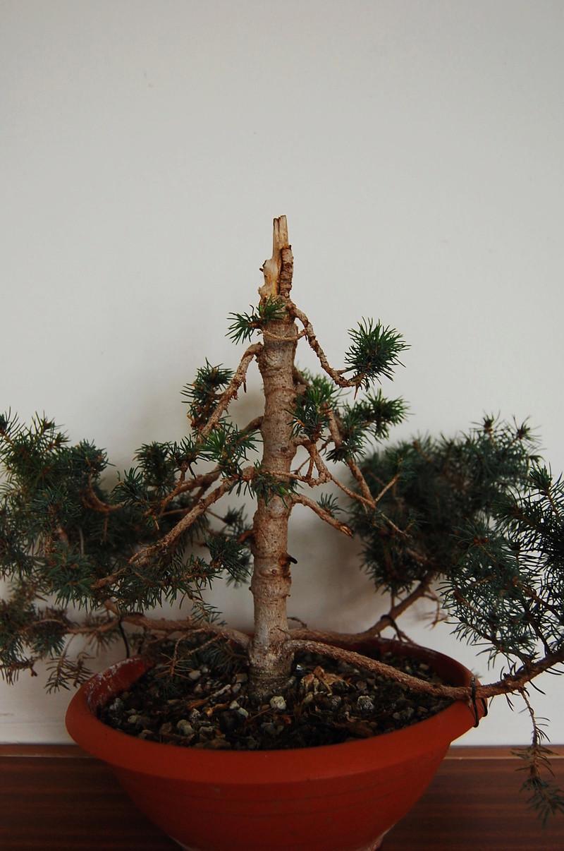 Picea Glauca Conica Dsc_0010