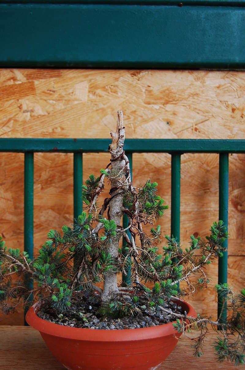 Picea Glauca Conica Dsc_0210