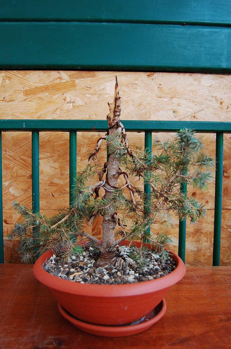 Picea Glauca Conica Dsc_0510