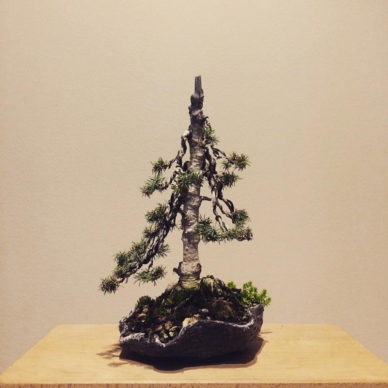 Picea Glauca Conica Img_2710