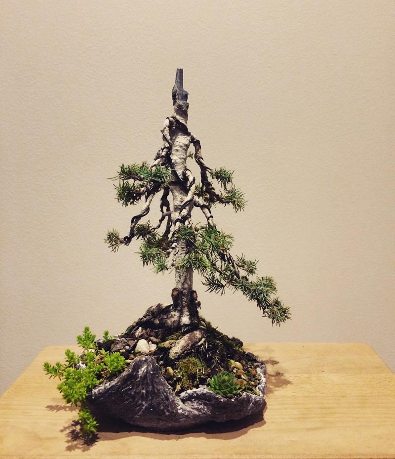 Picea Glauca Conica Img_2711