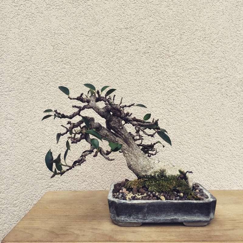 Ficus Retusa from a nursery broom Img_3310