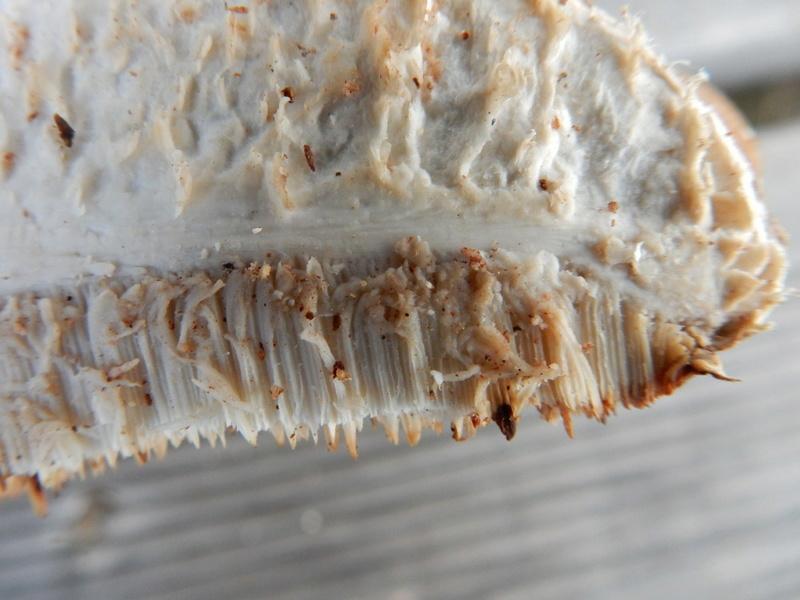 Piptoporus betulinus - Polypore du bouleau Dscn3210