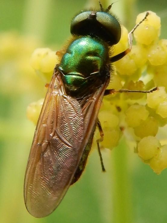 Chloromyia formosa scopoli 1763 La chloromye agréable (mâle) Mouche10