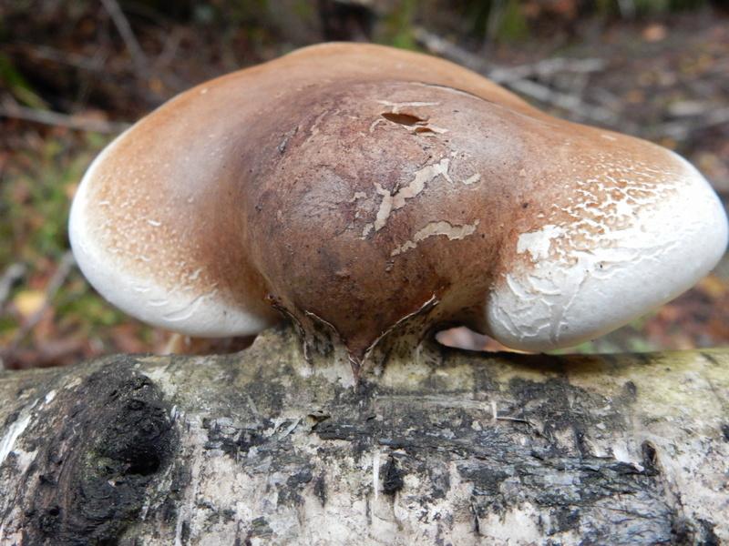 Piptoporus betulinus - Polypore du bouleau Polypo14