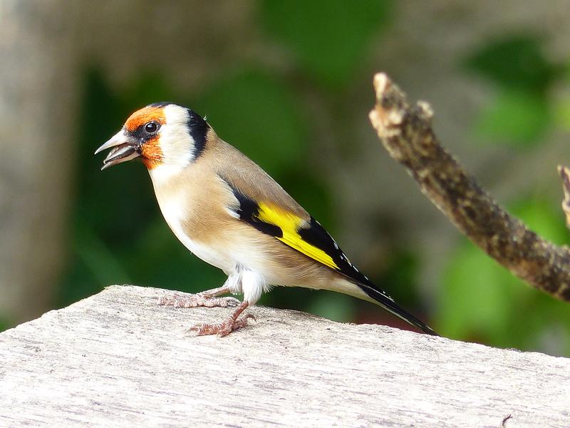Les oiseaux de mon jardin. P1820110