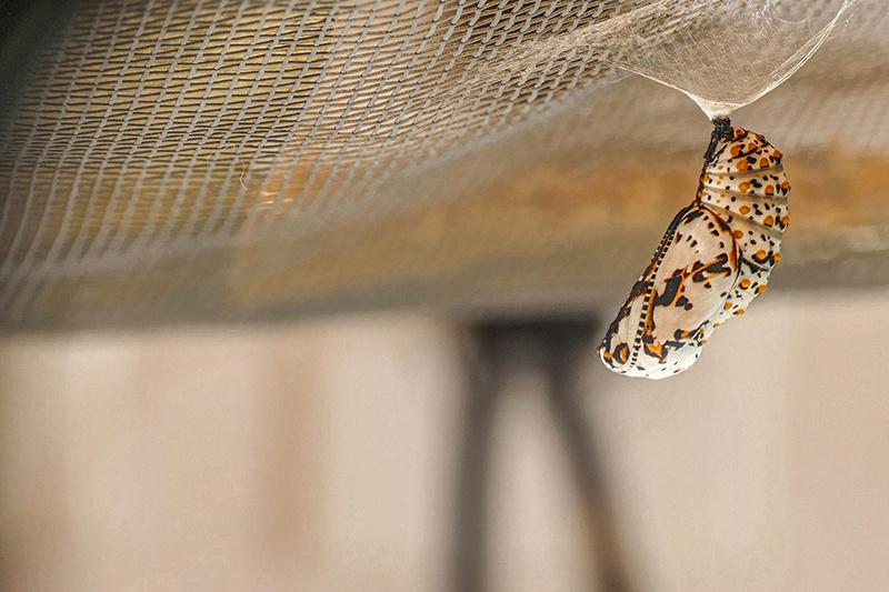 Papillon Baltimore 002-ch11