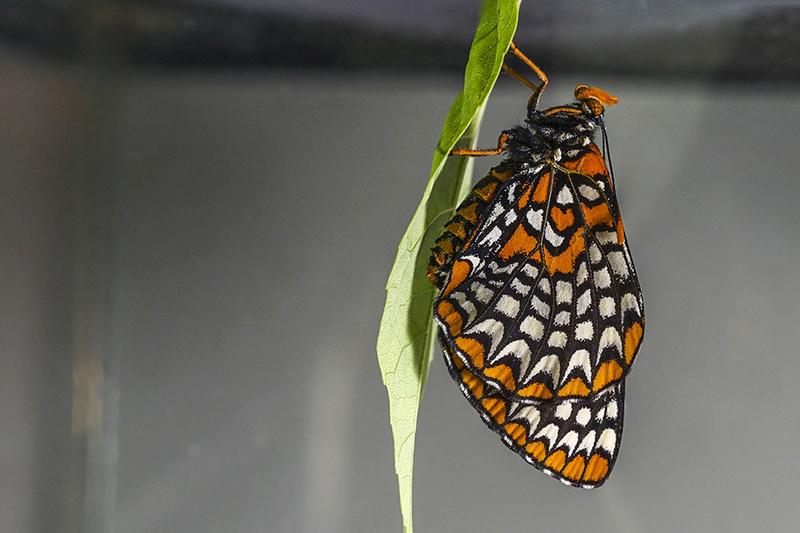 Papillon Baltimore 003-pa11