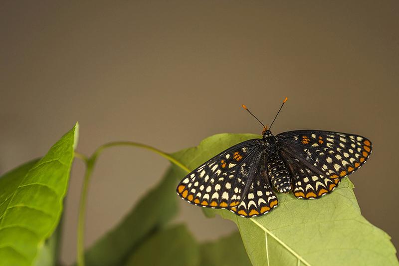 Papillon Baltimore 004-pa11
