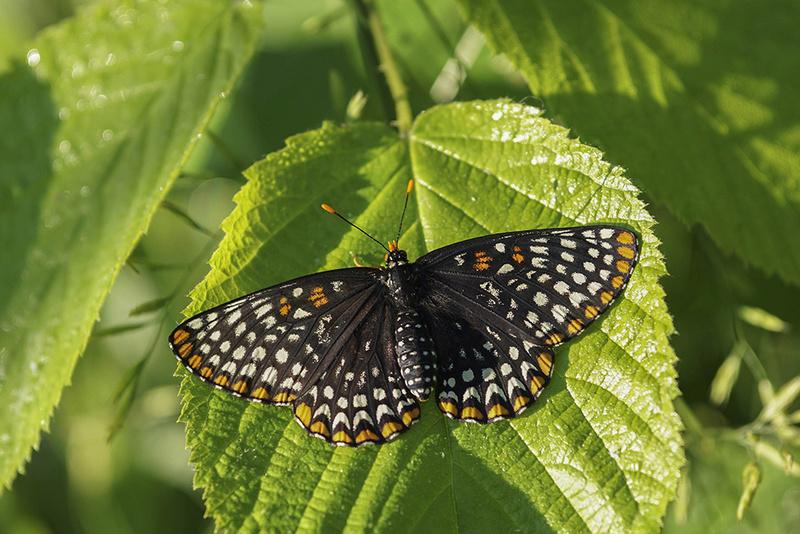 Papillon Baltimore 005-pa11