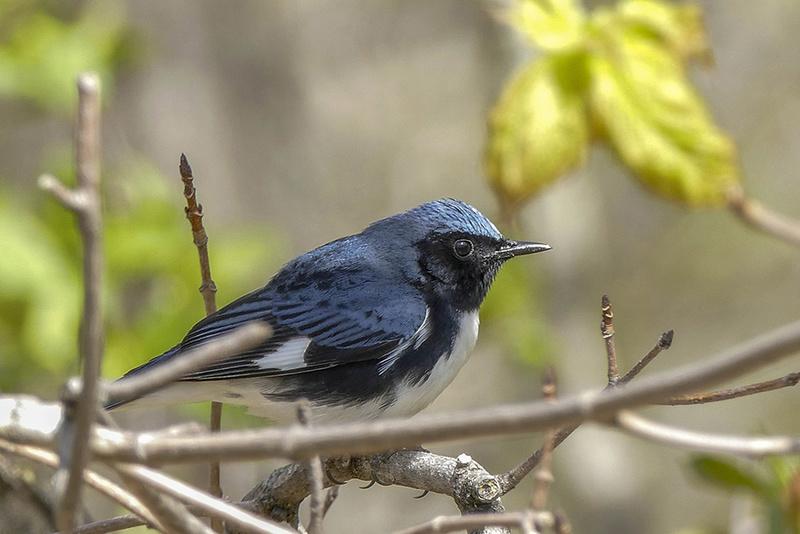 Paruline bleue P1480711