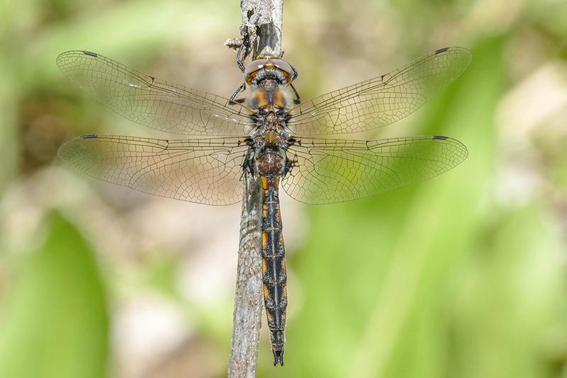 Espèce du genre Epitheca  P1490210