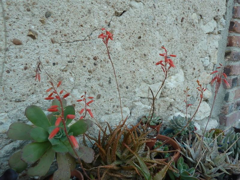Aloe bakeri 02110
