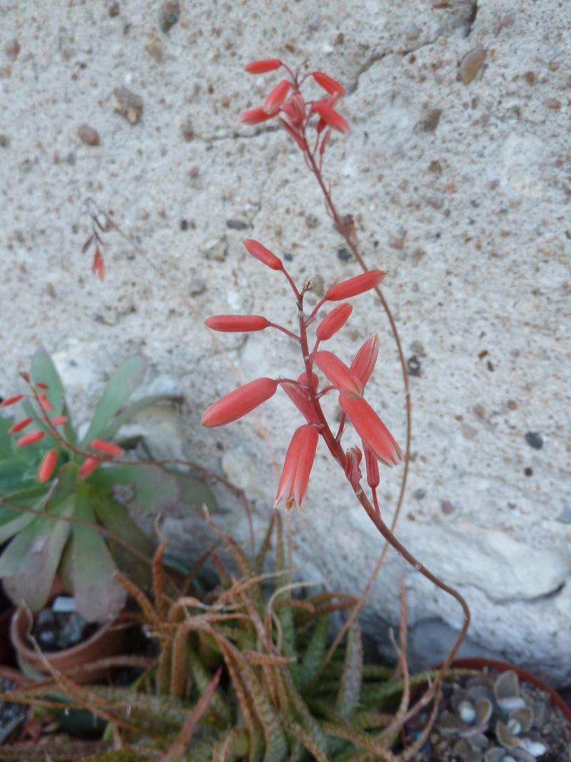 Aloe bakeri 04010
