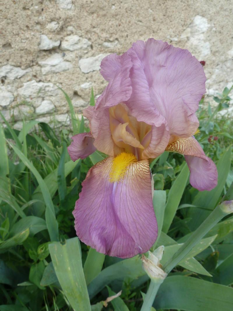 Iris rose - Flora [identification non terminée] 20180519