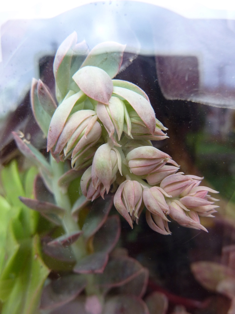 Echeveria 'Golden Towers' Echeve12