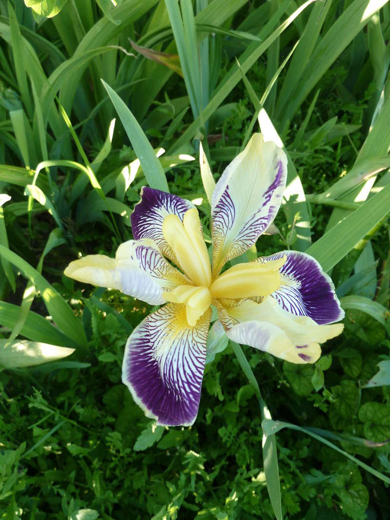 Iris 'Loreley' - Goos et Koenemann 1909 P1020110
