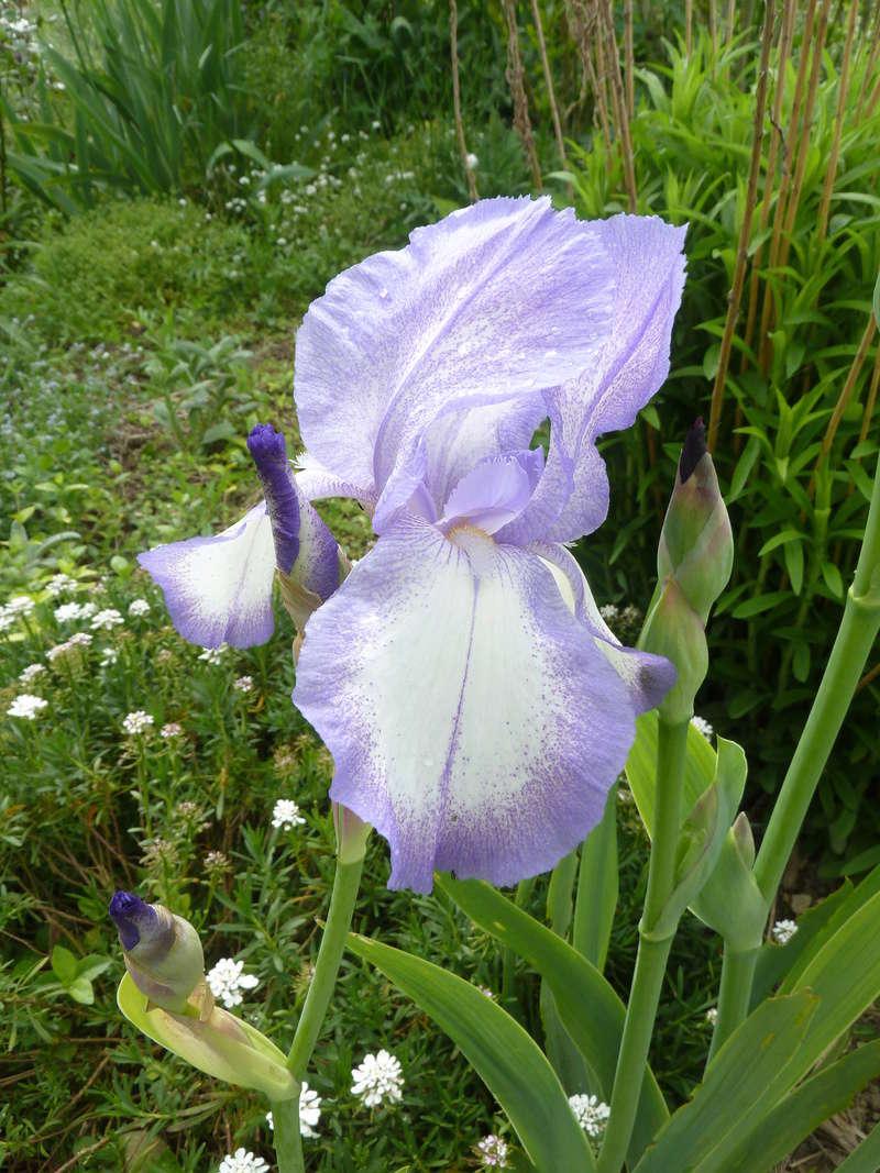 Iris 'Blue Shimmer' ? - Flora [identification à confirmer] P1090810