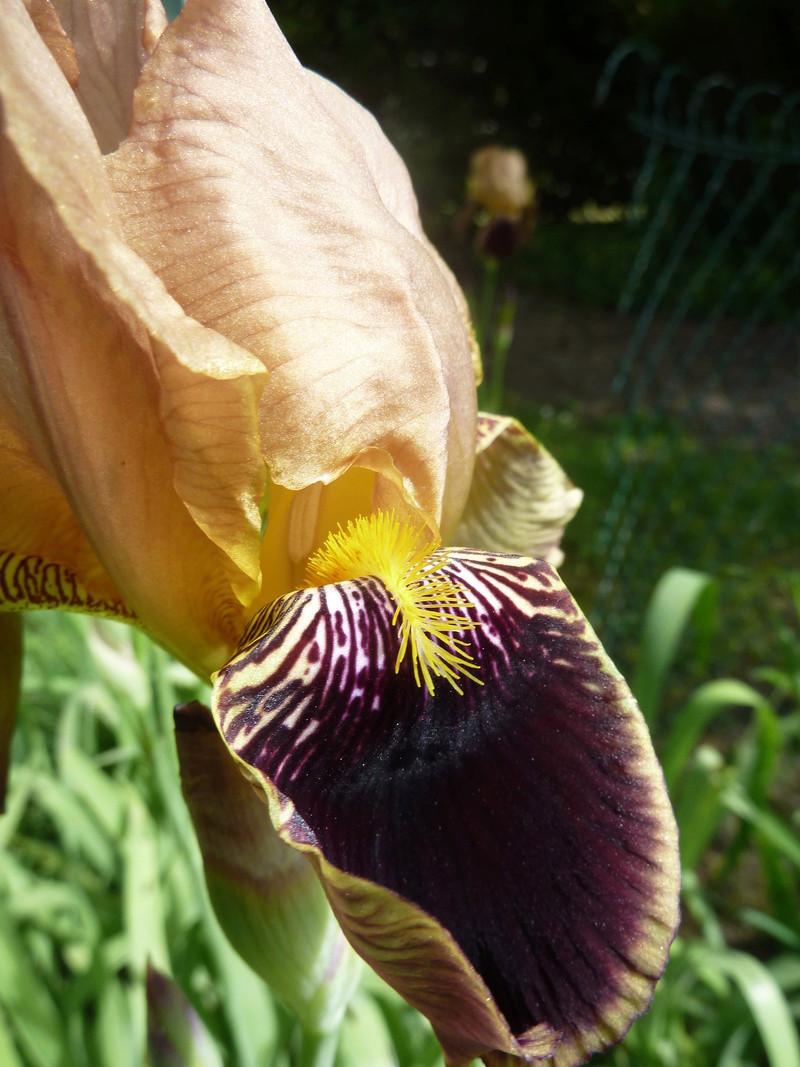 Iris variegata beige et violet - Flora [identification en cours] - Page 2 P1290210
