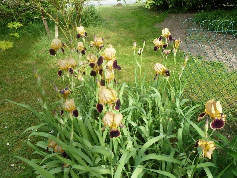 Iris variegata beige et violet - Flora et Lilou [identification en cours] P1290510