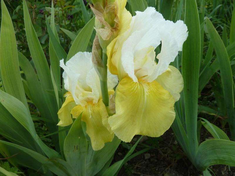 Iris 'Tulip Festival' - William Clough 1974 P1290511