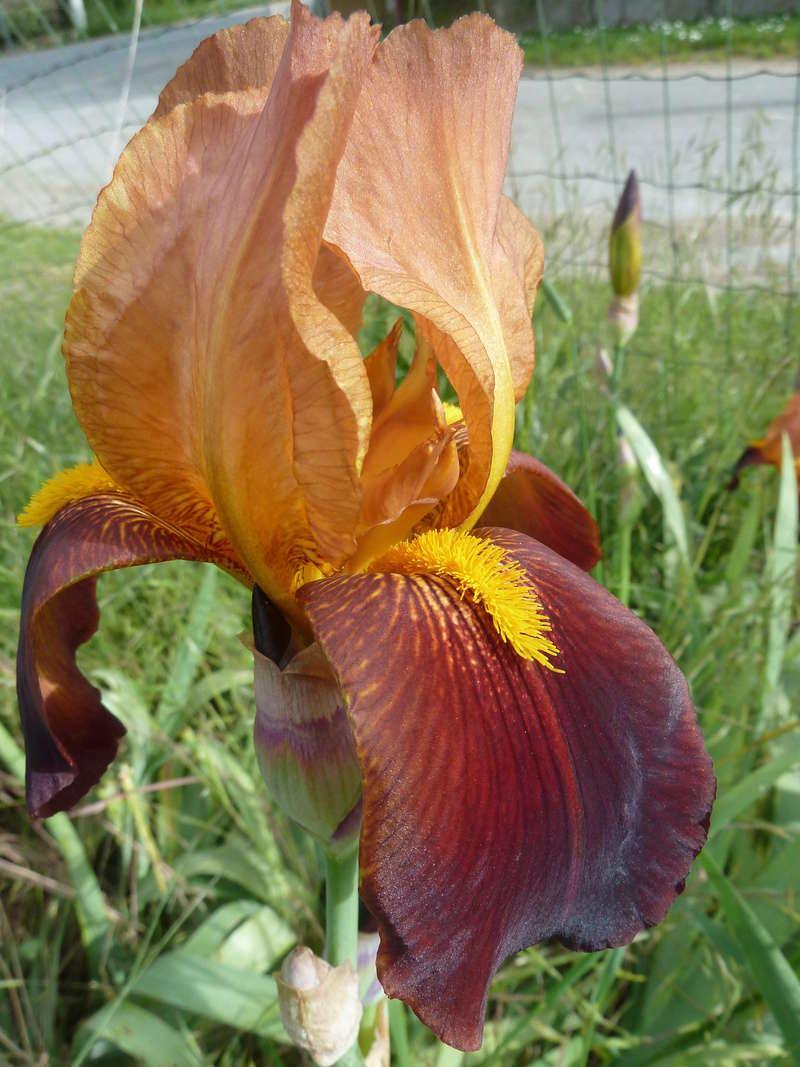 Iris variegata rouge - Flora [identification non terminée] P1290514
