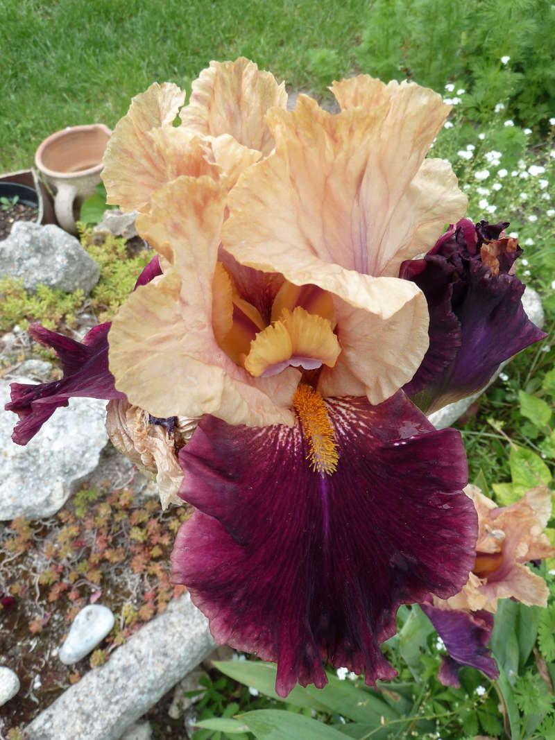 Iris 'Rustic Royalty' - Schreiner 2000 Rustic10