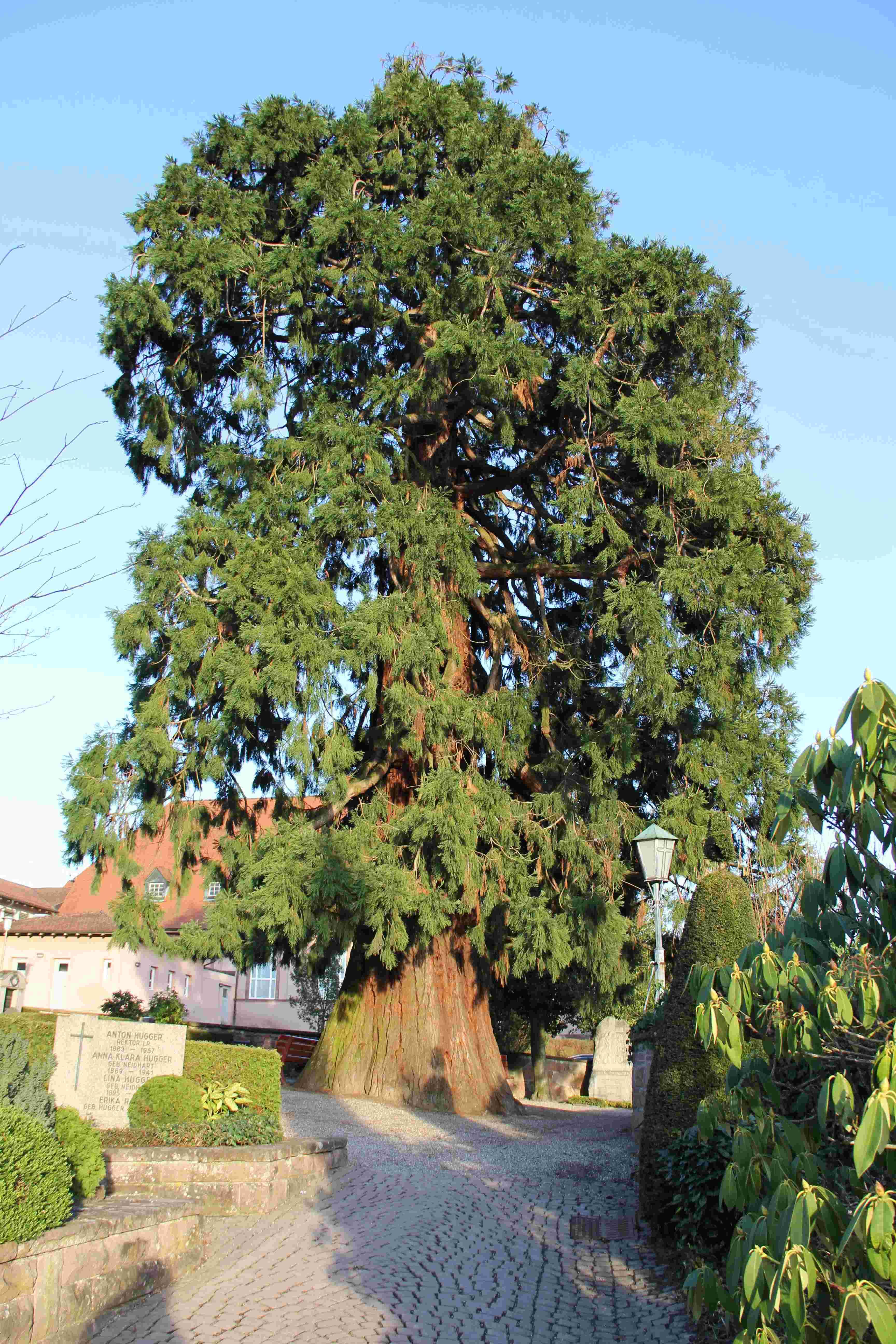Mammutbäume: Sequoia, Sequoiadendron, Metasequoia - Seite 7 Img_0212