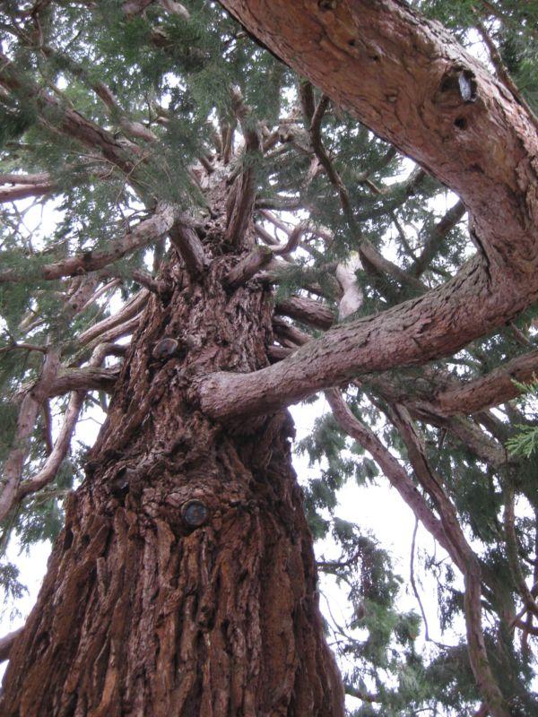 Mammutbäume: Sequoia, Sequoiadendron, Metasequoia - Seite 7 Img_1611