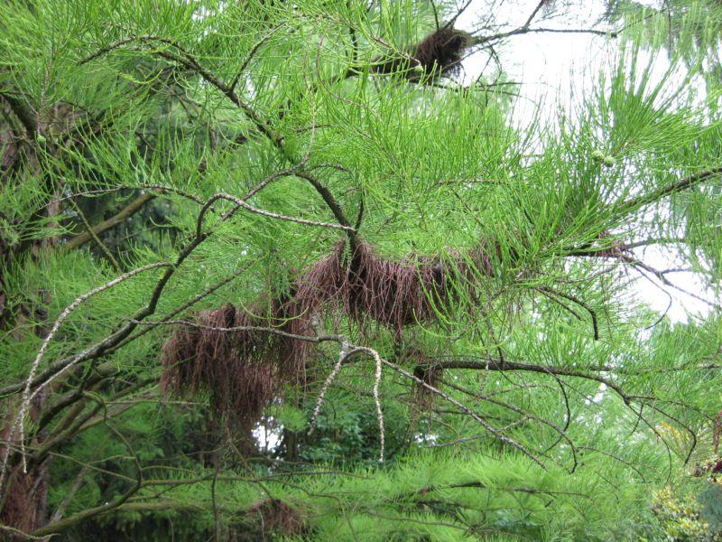 Mammutbäume: Sequoia, Sequoiadendron, Metasequoia - Seite 4 Img_2810