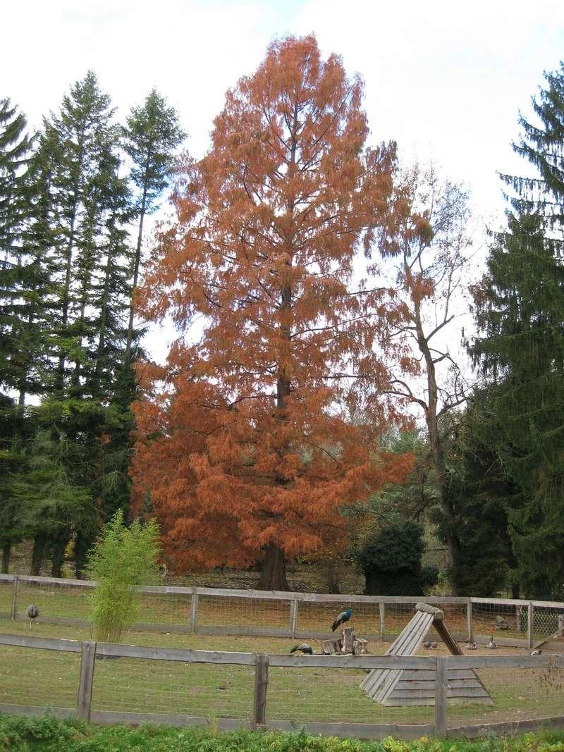 Mammutbäume: Sequoia, Sequoiadendron, Metasequoia - Seite 3 Img_4712