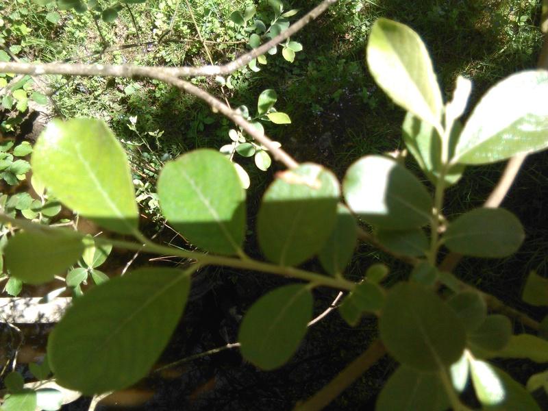 Apprendre à reconnaitre les arbres qui nous entourent Img_2056