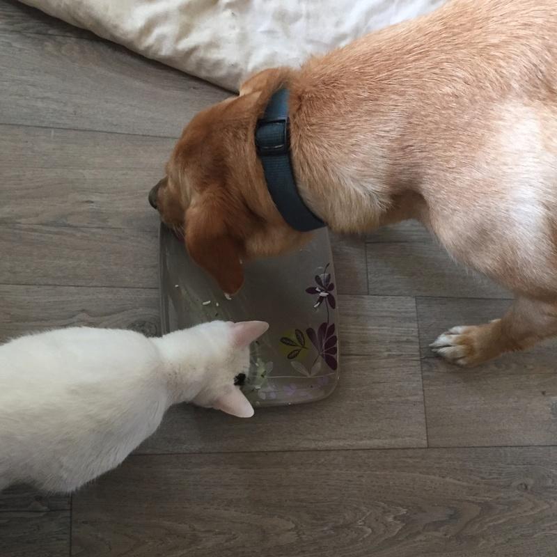 lois - Loïs - chatte blanche et noire - née en mai 2016 Img_8610
