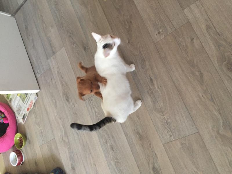 lois - Loïs - chatte blanche et noire - née en mai 2016 Img_8910