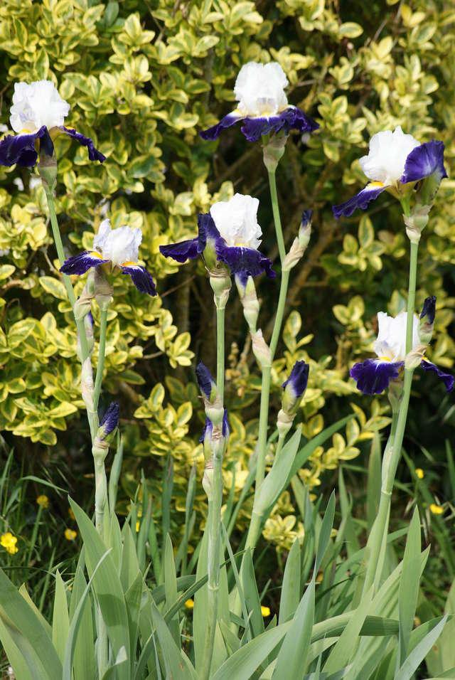 Iris 'Noctambule' - Cayeux 2006 02710