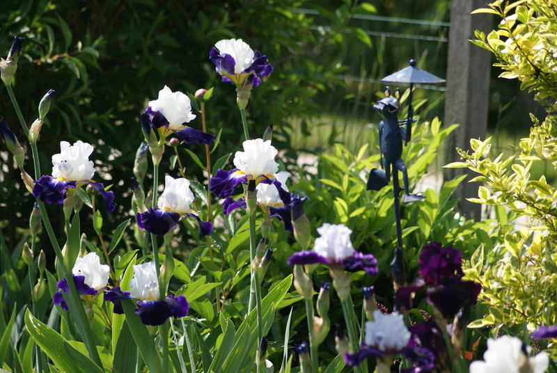 Iris 'Noctambule' - Cayeux 2006 07010