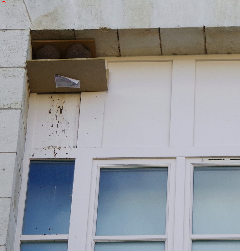 Le Service Historique de la Défense, protège ses hirondelles de fenêtre (Delichon urbicum) ! Imgp4910